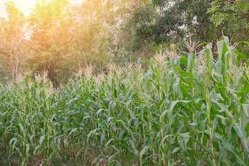 Organic corn field in with sunlight.