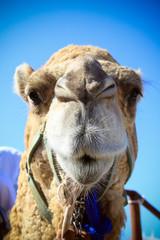 A pretty camel. Travels. Blue sky. Mexico