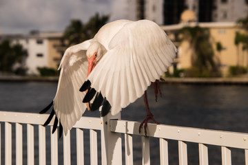 Beautiful White Ibis with wings out and blurred background