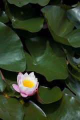 Water lily in the pond.