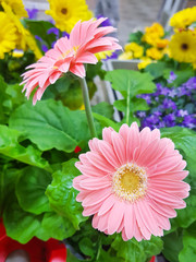 Beautiful two pink flowers in pot with many colorful flowers in the background.