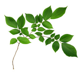 Branch of elm-tree leaves