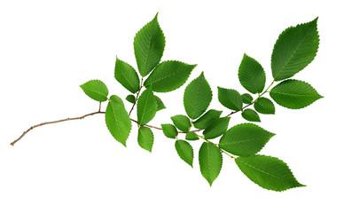 Green leaves of elm-tree