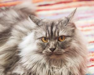 nice gray cat