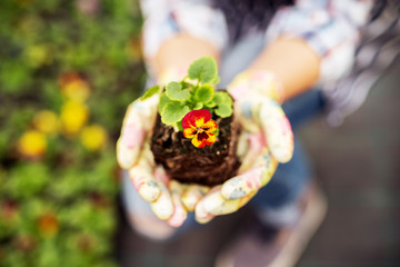 Close up of red and yellow flower in hands of a florist woman.