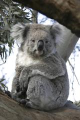 Koala staring down from a tree in Australia