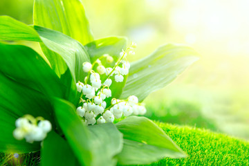 Flower lily of the valley growing in forest in spring closeup, natural background