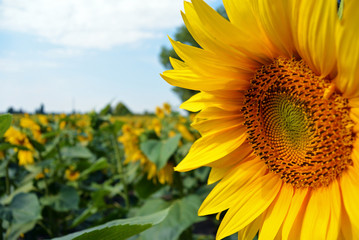 sunflowers in the field in summer, big flower on foreground