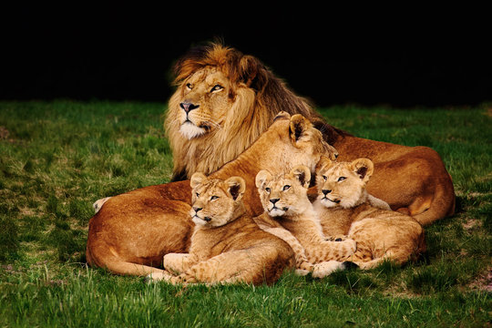 Lion family lying in the grass