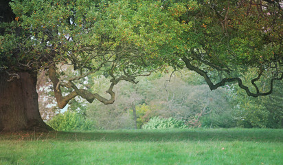 Old Craggy Oak Tree - beautiful wide tree trunk on left side with vast hanging branch reaching across and a gap beneath providing copy space