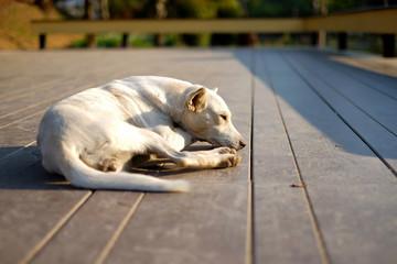 Thai white dog lying on the wood floor