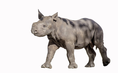 Baby Rhinoceros on White Background
