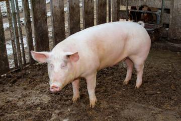 Schwein, Schweine in artgerechter Haltung