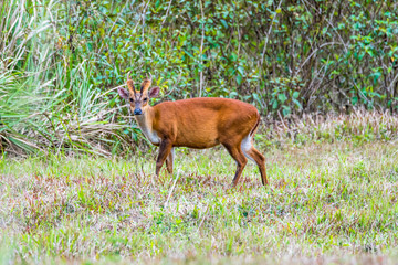The Indian muntjac eating grass