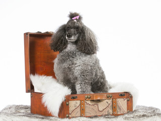 Poodle portrait. The poodle is wearing a pink hair bow and sits in a wooden suitcase. Image taken in a studio.