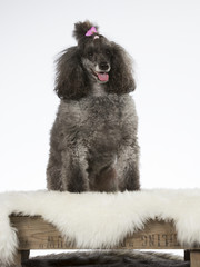 Poodle portrait. The poodle is wearing a pink hair bow. Image taken in a studio.