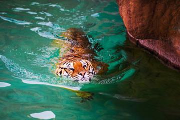 Wall Mural - swimming tiger
