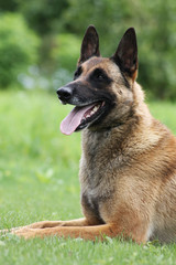 Malinois dog outside in green background.