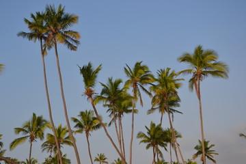 Cocotiers de Zanzibar