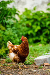 hen on a farm