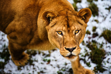 Wall Mural - Portrait of a lioness