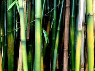 Stems of bamboo.Background,closeup.