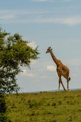 Giraffe in Masai Mara, Kenya
