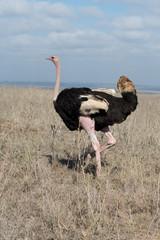 Ostrich in Nairobi National Park