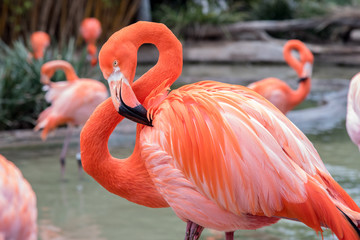 Foto op Plexiglas Flamingo Flamingo with head and neck curved into a figure 8