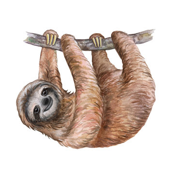 Watercolor sloth illustration. Tropical animal. Template. Handmade. Close-up.