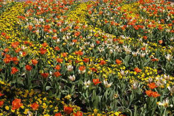 Tulips in garden. Colorful Flowers. Park
