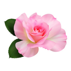 Realistic pink rose, Queen of beauty.