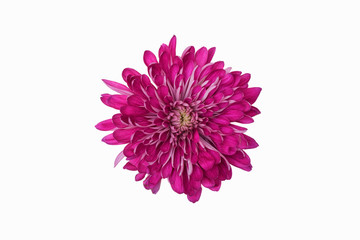 A studio shot of a purple chrysanthemum