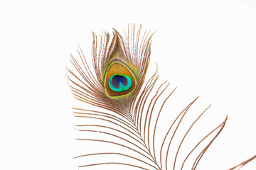 A studio shot of a peacock feather