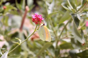 Light green butterfly on a pink flower