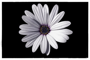 White Daisy Black Background