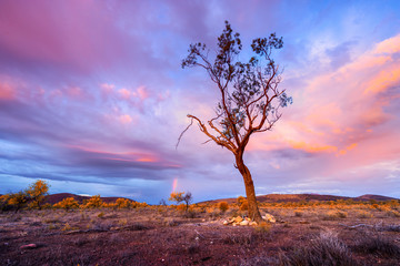 Flinders Ranges Tree