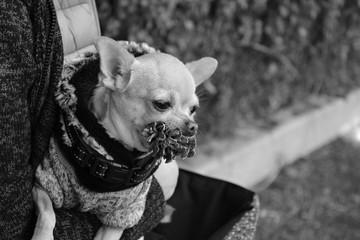 Chihuahua avec pomme de Pin