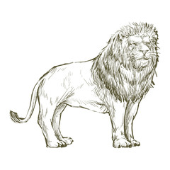 Illustration of lion