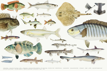 Coloured illustration of fish drawing collection