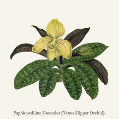 Venus Slipper Orchid(Paphiopedilum Concolor) found in (1825-1890) New and Rare Beautiful-Leaved Plant illustration drawing