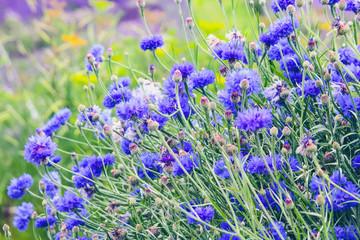 Beautiful cornflowers meadow close up