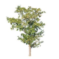 Tree on isolated white background