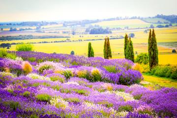 Lavender fields in England, UK