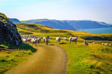 Grazing sheep at beautiful cliffs of Scotland, St Abb's Head, UK