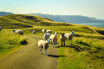 Grazing sheep at beautiful cliffs of Scotland, St Abb's Head, UK