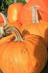 Pumpkins in the garden, close up shot