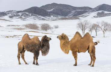 bactrian camels walking in a the winter landscape of northern Mongolia
