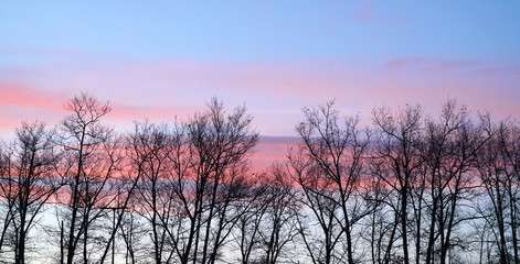 winter trees silhouette in a row with pink sunset sky