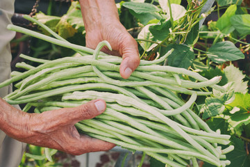 Closeup hand kept long beans in the garden.harvest concept